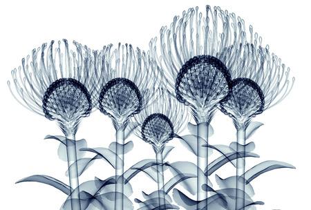 nodding: x-ray image of a flower  isolated on white , the Nodding Pincushion 3d illustration