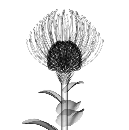 roentgenogram: x-ray image of a flower  isolated on white , the Nodding Pincushion 3d illustration