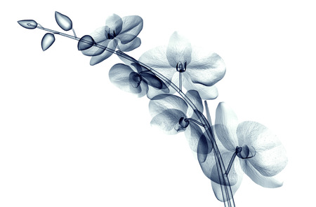 radiogram: x-ray image of a flower  isolated on white , the orchide  3d illustration Stock Photo