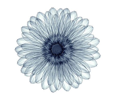 gebera: x-ray image of a flower  isolated on white , the gebera 3d illustration