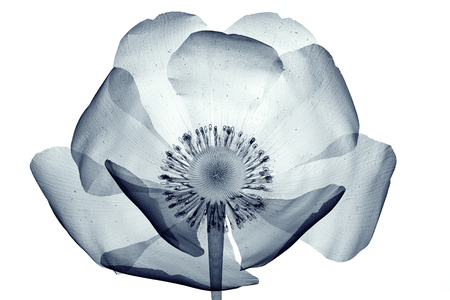 x-ray image of a flower  isolated on white , the poppy Papaver 3d illustration