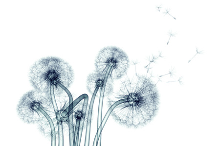 x-ray image of a flower  isolated on white , the Taraxacum dandelion 3d illustration