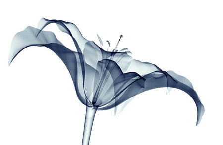 x-ray image of a flower isolated on white , the lilly 3d illustration