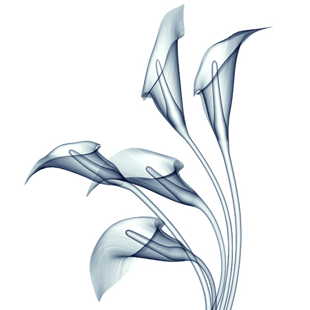 white lilly: x-ray image of a flower  isolated on white , the calla lilly 3d illustration Stock Photo