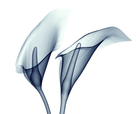 roentgenogram: x-ray image of a flower  isolated on white , the calla lilly 3d illustration Stock Photo