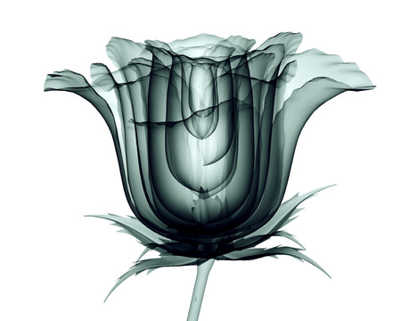 x-ray image of a flower  isolated on white , the rose 3d illustration