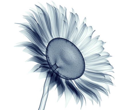 radiograph: x-ray image of a flower  isolated on white , the sunflower 3d illustration