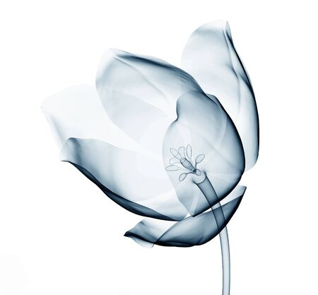 x-ray image of a flower  isolated on white , the tulip 3d illustration Reklamní fotografie