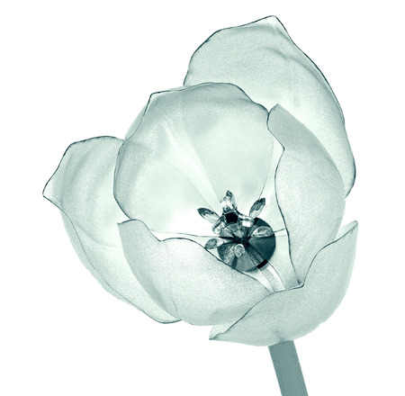 radiogram: x-ray image of a flower  isolated on white , the tulip 3d illustration Stock Photo