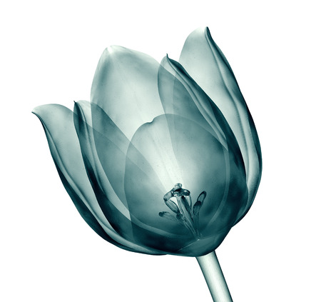 radiograph: x-ray image of a flower  isolated on white , the tulip 3d illustration Stock Photo