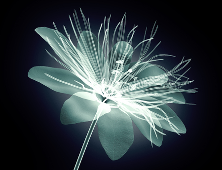 x-ray image of a flower  isolated on black , the passion flower 3d illustration