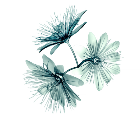 radiogram: x-ray image of a flower  isolated on white , the passion flower 3d illustration