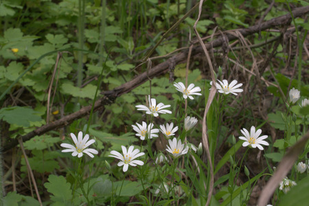 Stellaria holostea white forest flowers closeup Stock Photo