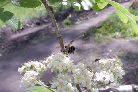 bumblebee pollinating blooming mountain ash Imagens