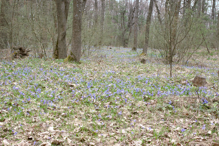 forest glade spring young flowers. A carpet of Siberian Squill Stock Photo