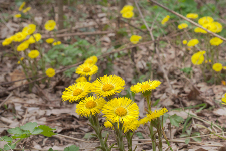 Yellow flowers of coltsfoot on still leafless stalk. Blooming Sun in spring primroses
