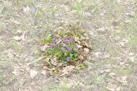 clump of viola plant among withered oak leaves. Purples wild flowers of the forest. clouded background
