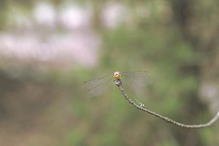 dragonfly male full face. Sympetrum vulgatum (vagrant darter) Stock Photo