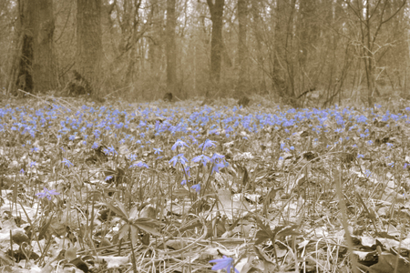 forest glade spring first flowers. A carpet of Siberian Squill. Pale background