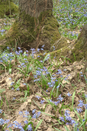 Carpet Siberian Scilla around mossy roots oak. verdant grass and dry leaves of spring
