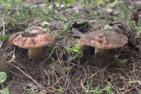 pair chestnut boletes in wild nature. rarity forest
