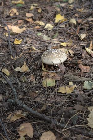 panther cap among picturesque fallen autumn foliage 写真素材