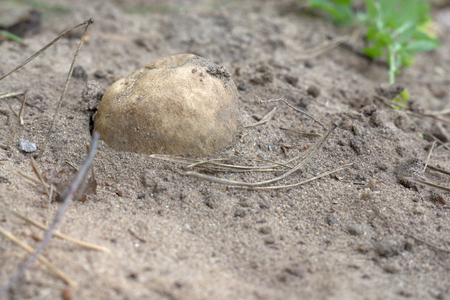 semi dug out common earthball