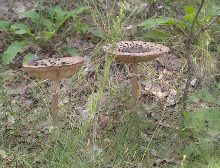 mature parasol mushrooms with nearly flat, curved out scaly caps