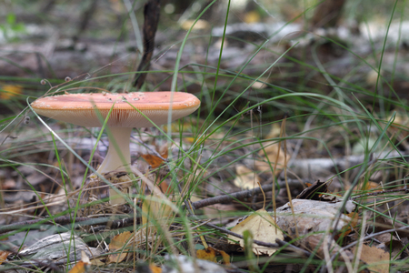 orange fly agaric, with fluffy ringlet on white thick stem and flat cap Stock Photo