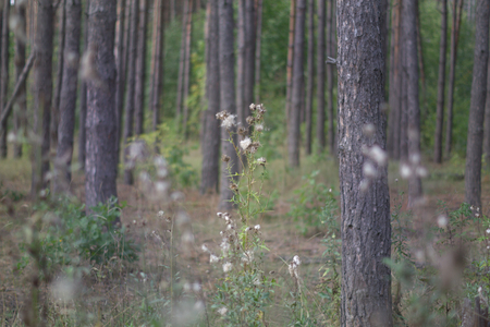 high grass of forest. Thistle with furr, that appeared instead of flowers. among the pine forest Фото со стока - 104959865