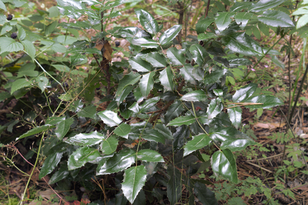 waxed dark green pinnate foliage consisting of spiny leaflets, on the bush of Oregon grape. Growing in the dense forest shadow, near blackberry