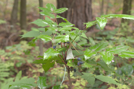 Oregon-grape ripe oval berries on top of low shrub with spiny leaflets Stock fotó