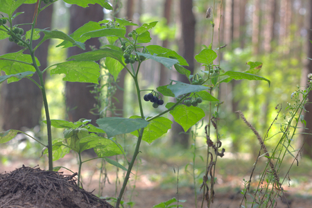 purple-black not deadly toxic berries of European black nightshade shrub, bunched in lots of racemes and ripen