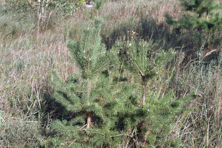 small Scots pine. common young strong coniferous trees on forest glade closeup
