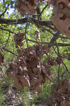 cluster of oak foliage. dried and warped brown bunches, hanging down from thin mossy branch
