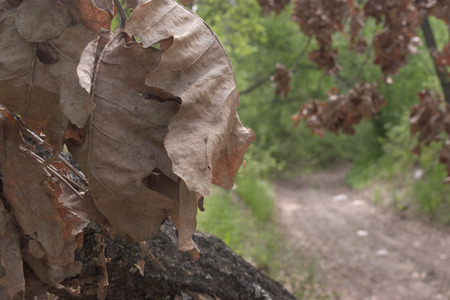 Oak leaves, large, withered, in lush bunch. closeup. dirt road under dry tree of a dense forest