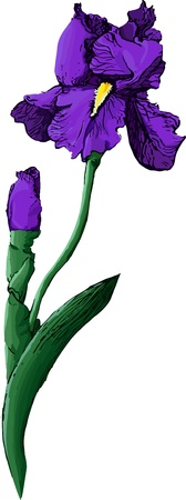 purple iris: Blue iris  isolated on white background Illustration