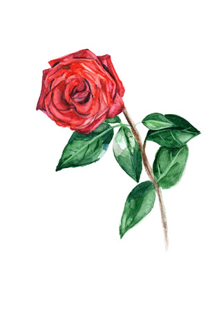Watercolor red rose illustration isolated on white background