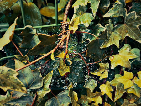 Raindrops dotting a spiderweb woven between ivy leaves