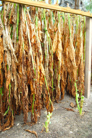 curing: Tabacco Leaves Drying or Curing