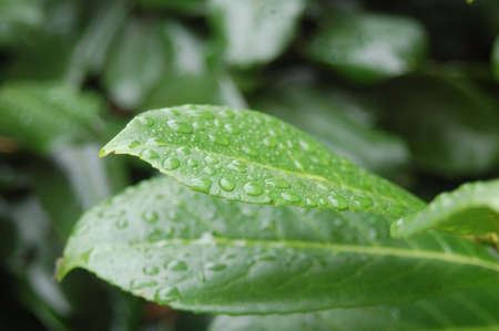 Fresh Droplets of rain on Green Leaves photo