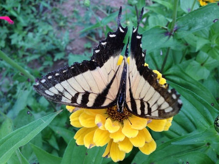 Tiger swallowtail butterfly lighting on zinnia flower to collect nectar.