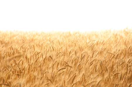 Golden wheat field on hot sunny day. High resolution photo. photo