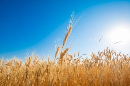 wheat harvest: Campo di grano dorato sul cielo blu. Foto ad alta risoluzione.