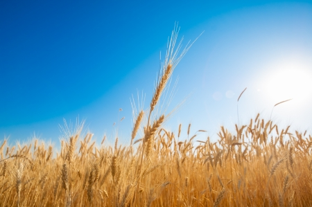 Golden wheat field on blue sky. High resolution photo. Stok Fotoğraf - 14487487