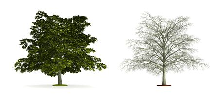 Maple Tree. High resolution 3D illustration isolated on white.