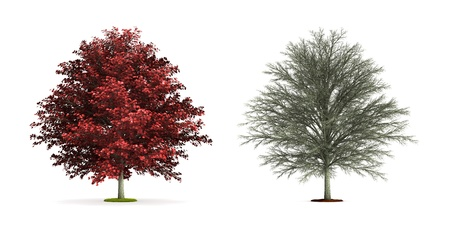 Red Maple Tree. High resolution 3D illustration isolated on white.