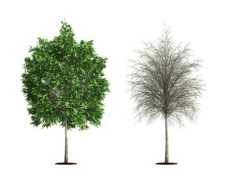 Small Lime Tree. High resolution 3D illustration isolated on white.