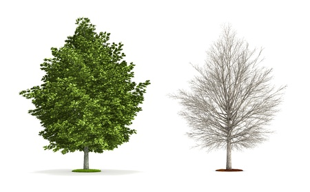 silver maple: Silver Maple Tree. High resolution 3D illustration isolated on white.