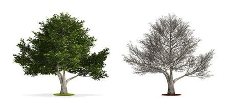 Crack Willow Tree. High resolution 3D illustration isolated on white.